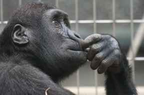 view ape thinking primate